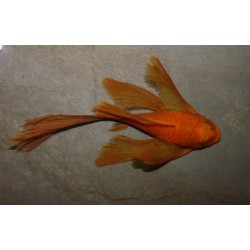 Ancistrus sp. red longfin