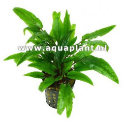 Cryptocoryne green crisped leaf