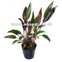 Cryptocoryne walkerii