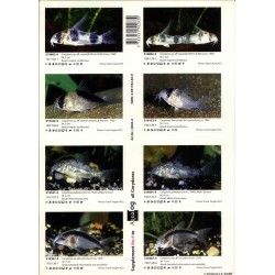 AQUALOG SUPPL. CORYDORAS 4