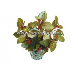 Ludwigia repens /'Rubin/' - NEW