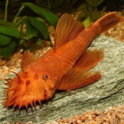 Ancistrus sp. red